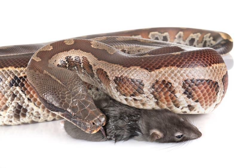 Brongersmai de python dans le studio images stock