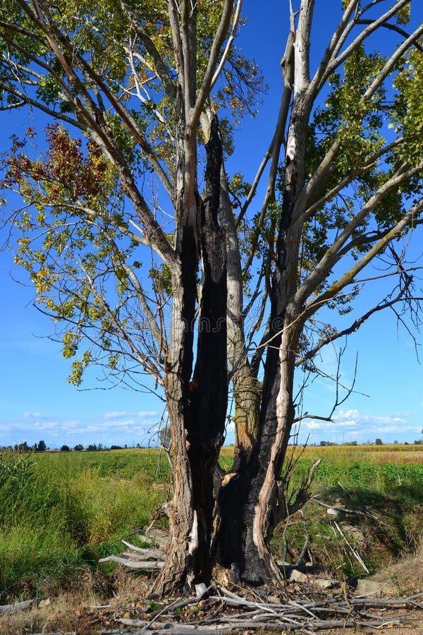 Bronken tree. A tree broken by a thunderbolt stock photo