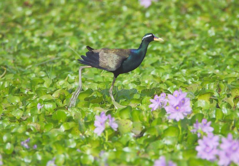 Brons - den bevingade jacanafågeln royaltyfria bilder