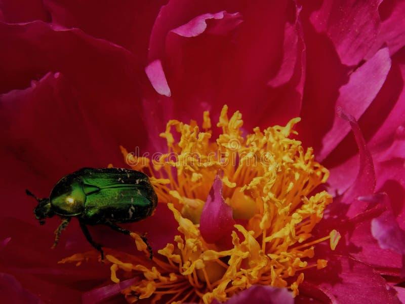 Brons skalbaggen på en lös ros steg i trädgården arkivfoto