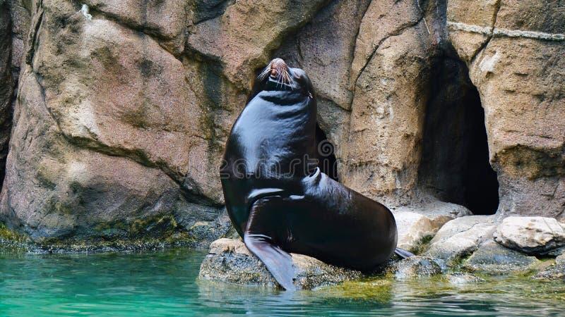 Bronx zoo male seals enjoying the sun royalty free stock images