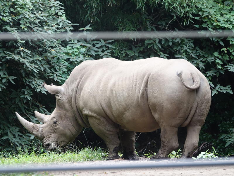 Bronx Zoo Rhinoceros 8. Members of the rhinoceros family are characterized by their large size, they are some of the largest remaining megafauna, with all of the stock image