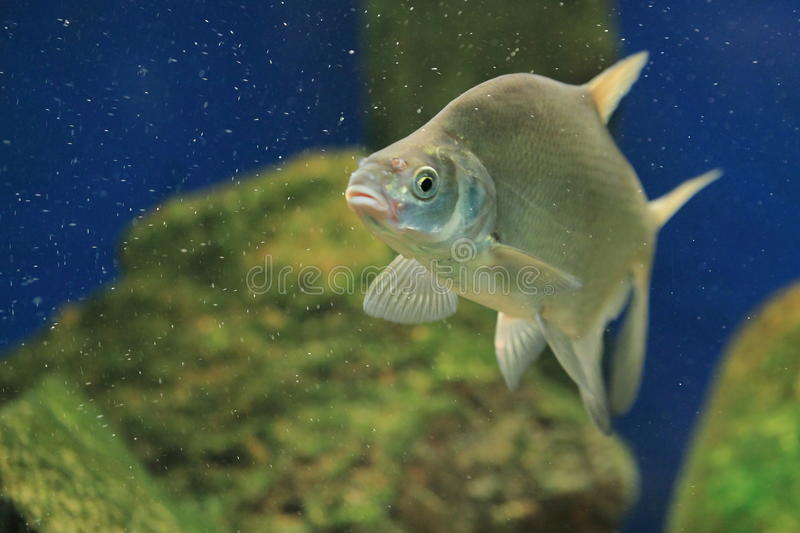 Bronze bream stock photography