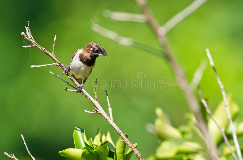 A Bronze Mannikin in the sun. The Bronze Mannikin is a popular cage bird in western countries but unusual to see in his natural habitat of Kenya stock images