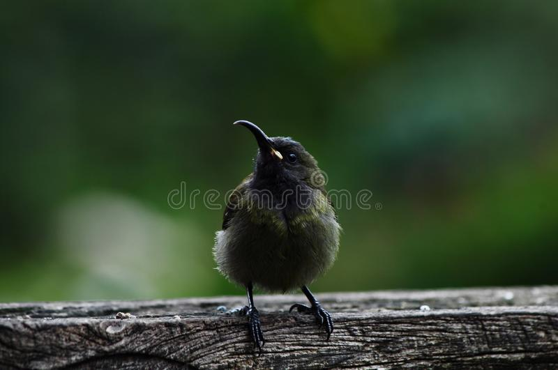 Bronze Sunbird , which is dark brown in colour , sitting on wood royalty free stock image
