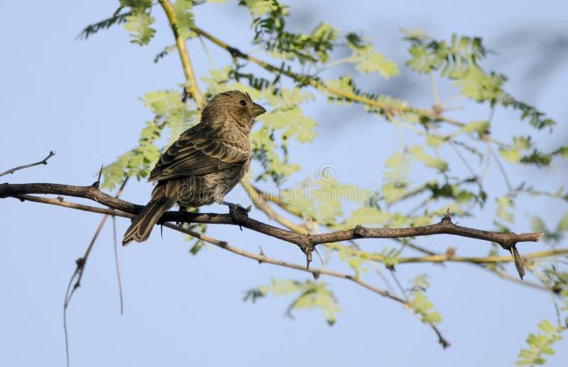 Bronzfärgad Cowbird, Tucson Arizona öken royaltyfria bilder