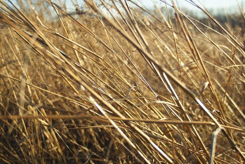 Bronzfärgade präriegräs i vintersol och vind arkivfoto