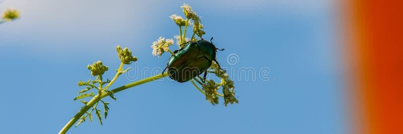 Bronzka ściga zbiera nektar i pollen od kwiatu przeciw niebieskiemu niebu fotografia stock