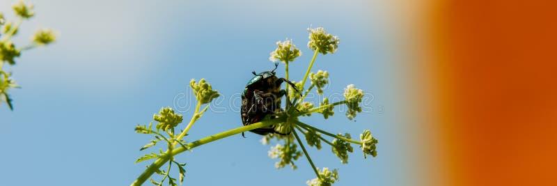 Bronzka ściga zbiera nektar i pollen od kwiatu przeciw niebieskiemu niebu zdjęcia stock