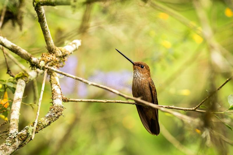 Bronzy inca sitting on branch, hummingbird from tropical forest,Colombia,bird perching,tiny bird resting in rainforest,clear color. Ful background,nature stock photography