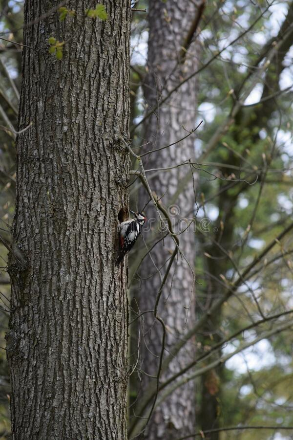 Brood cavity. Great spotted Woodpecker is building a Brood cavity stock photos