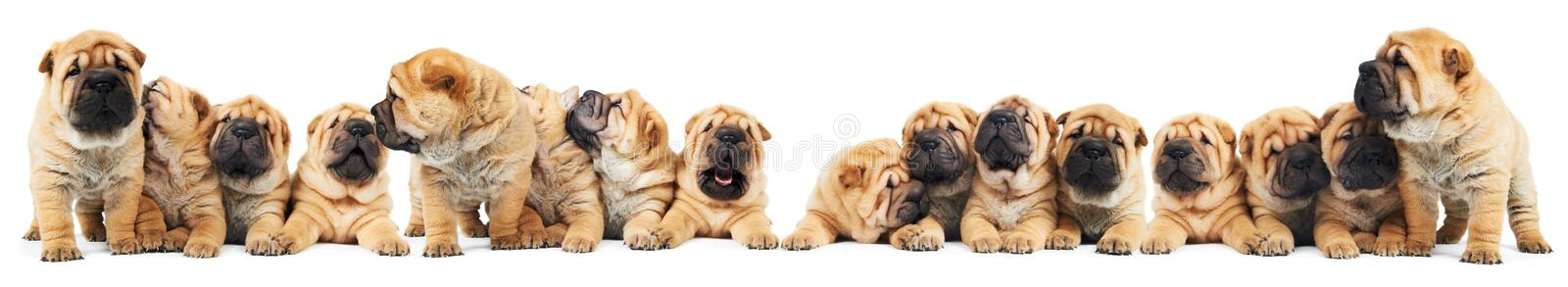 Brood of sharpei puppies dogs royalty free stock photography