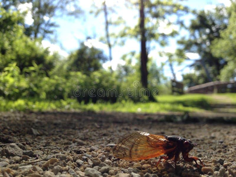 Brood V 17 year periodical cicadas stock photos
