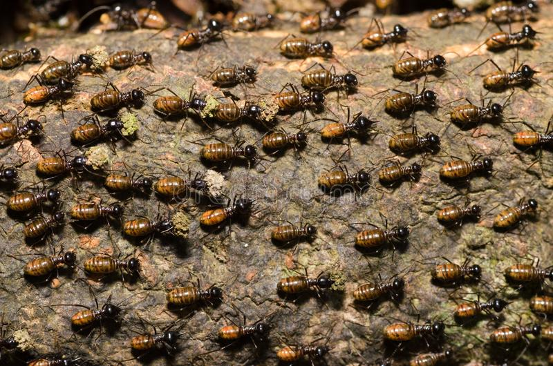 Brood of worker termite on tree bark royalty free stock images
