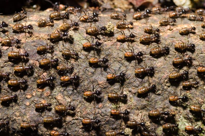 Brood of worker termite on tree bark stock image