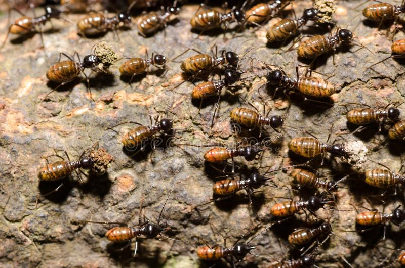 Brood of worker termite on tree bark stock photo