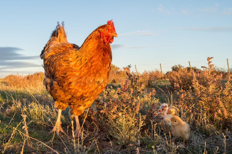 Brooding hen and chicks in a farm. Chicken brooding hen and chicks in a farm royalty free stock photos