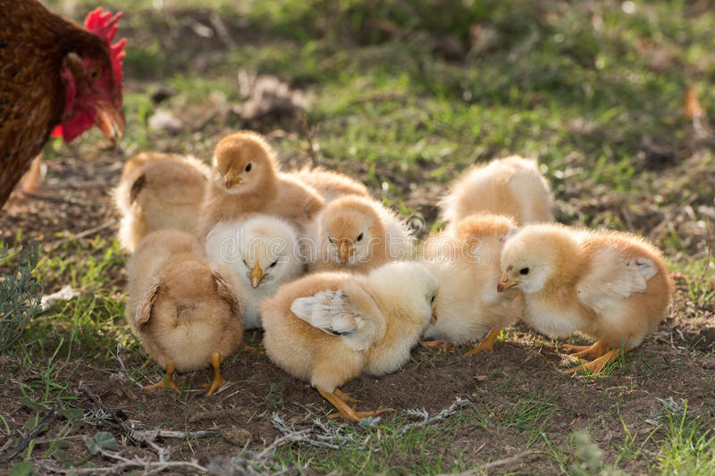 Brooding hen and chicks in a farm royalty free stock photos