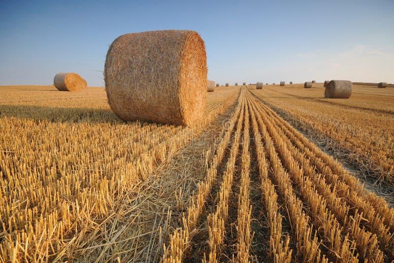 Broodjes van hooi op het gebied na oogst stock afbeeldingen