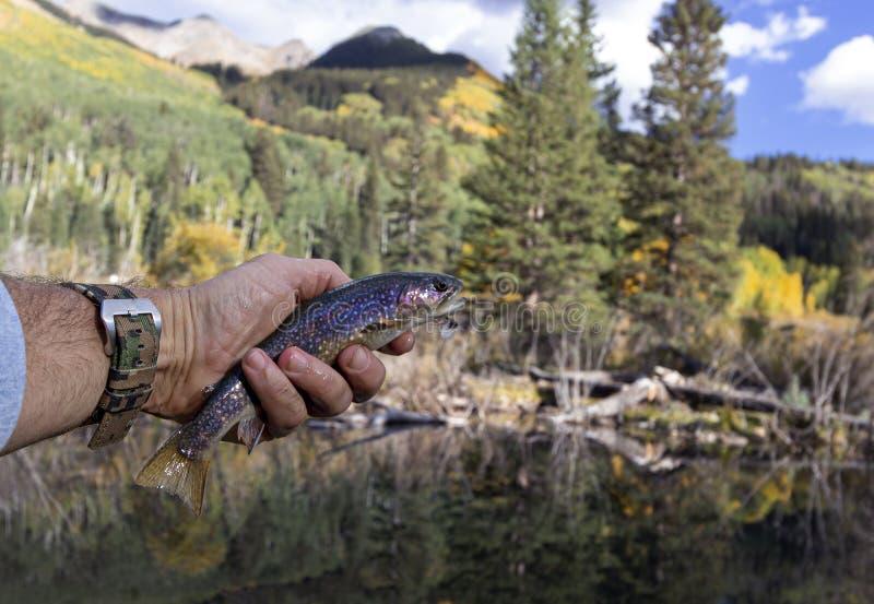 Brooke Trout Caught et pêche de mouche libérée dans le Colorado photo libre de droits