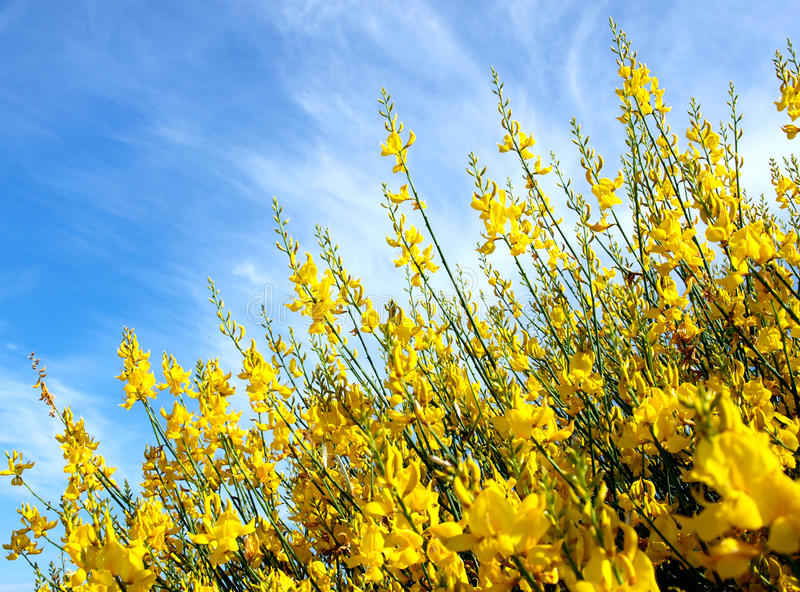 Broom. Flower in the countryside, Italy royalty free stock photos