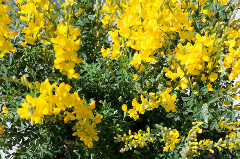 Broom Flowers. Bright yellow broom flowers in full frame stock photography