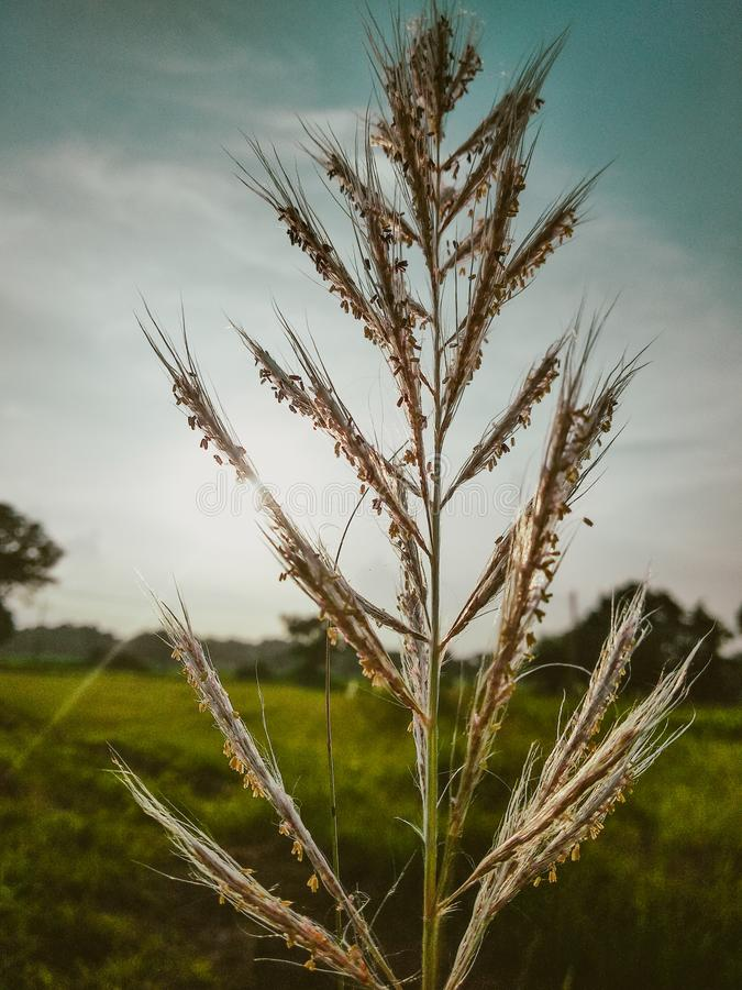 Broom grass plant Indian broom grass plant stock images