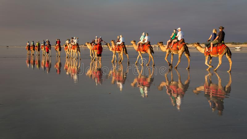Broome västra Australien - September 11 2014: Kamel på kabelstranden royaltyfri fotografi