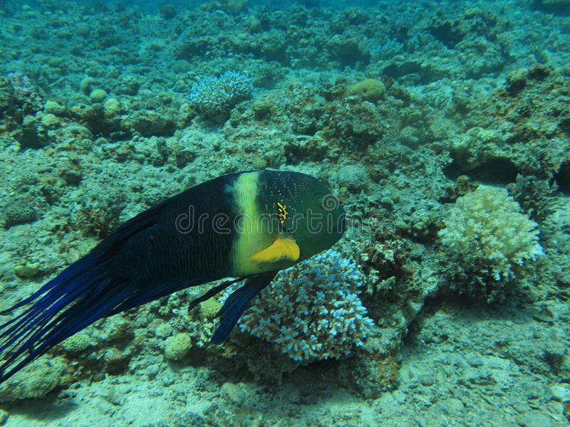 Broomtail Wrasse Royalty Free Stock Images