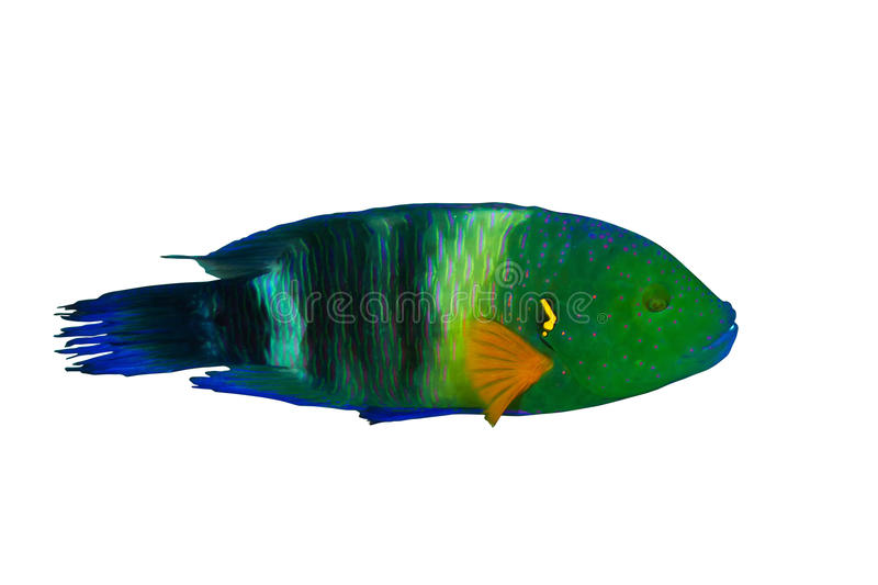 Broomtail wrasse. (Cheilinus lunulatus) male, isolated on white background royalty free stock photography