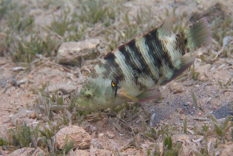 Broomtail-Wrasse im Roten Meer lizenzfreie stockfotos