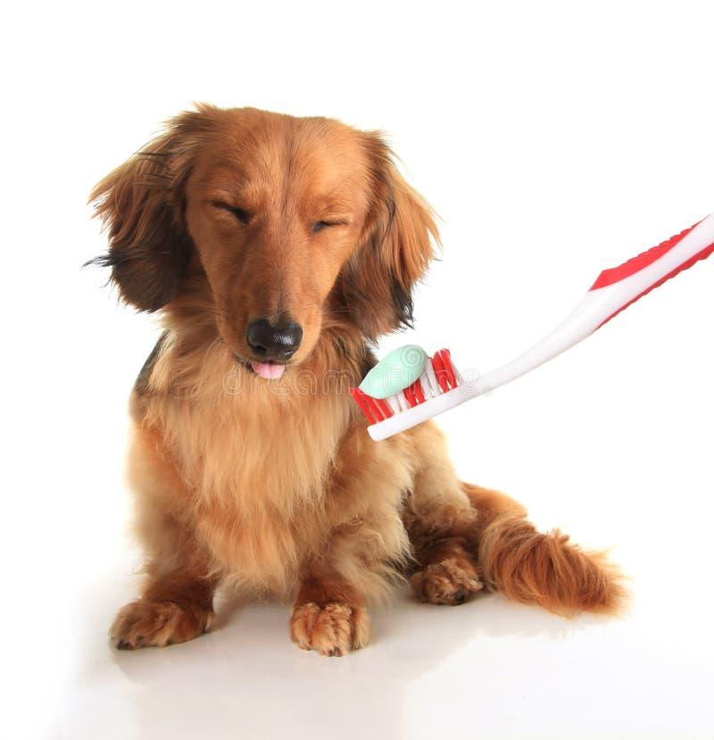 Brosse à dents de chien images libres de droits