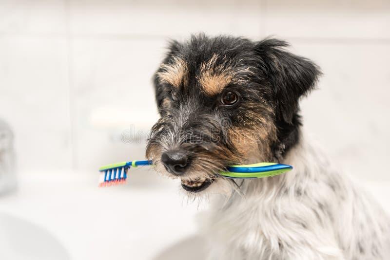 Brosse à dents de participation de chien dans la salle de bains - terrier de Russell de cric photographie stock