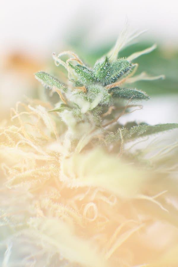 Brota o cannabis crescido na casa Cannabis do bot?o antes do bot?o Indica e Sativa da colheita das universidades m?dicas do canna fotografia de stock royalty free