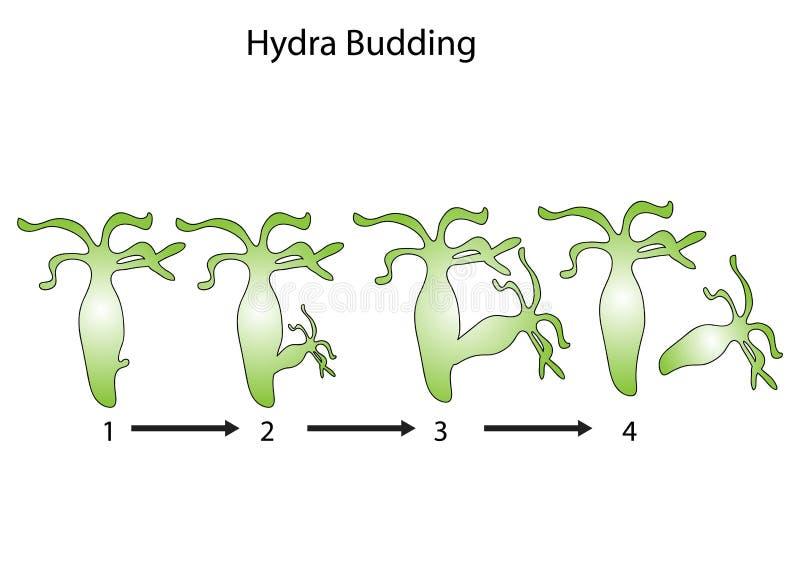 Brotamento do Hydra ilustração do vetor