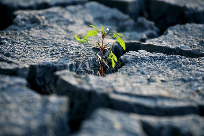 Brotar as plantas que crescem na terra rachada muito seca fotografia de stock