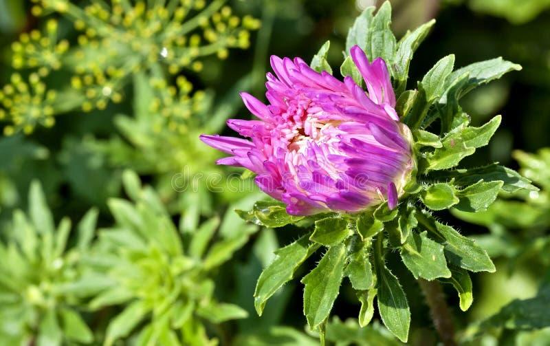 Brote ásteres cor-de-rosa de florescência com gotas da chuva, foco macio imagem de stock royalty free