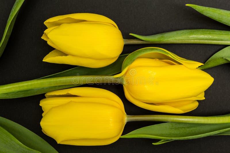 Brote amarillo grande del tulipán tres en un fondo negro fotografía de archivo libre de regalías