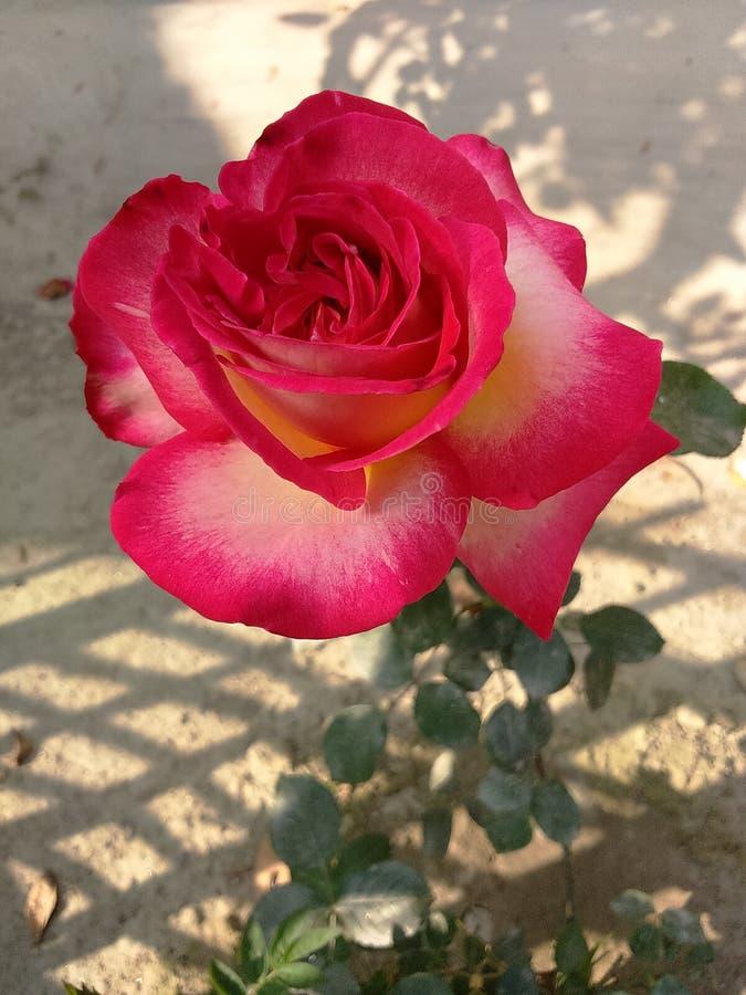 brote color de rosa foto de archivo libre de regalías