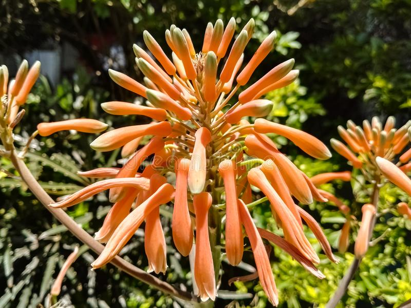 Brote de flor anaranjado de Vera del áloe que sorprende imagenes de archivo