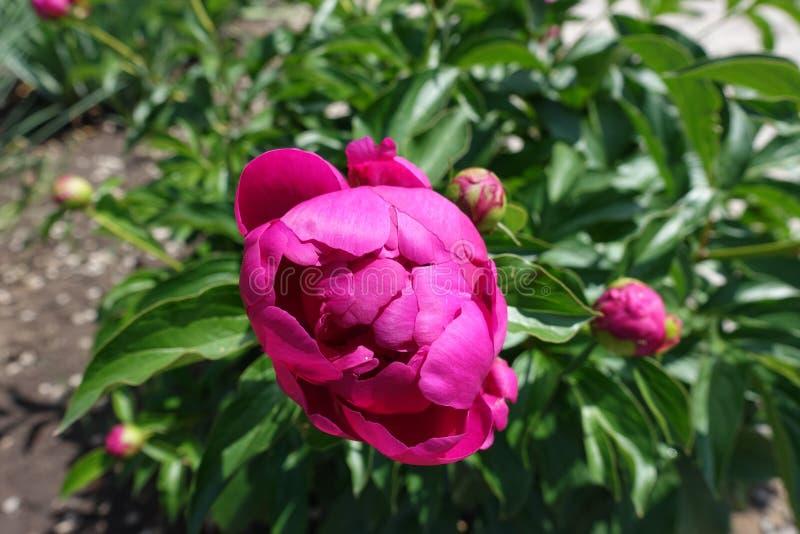 Brote de flor cerrado de la peonía magenta-coloreada fotos de archivo