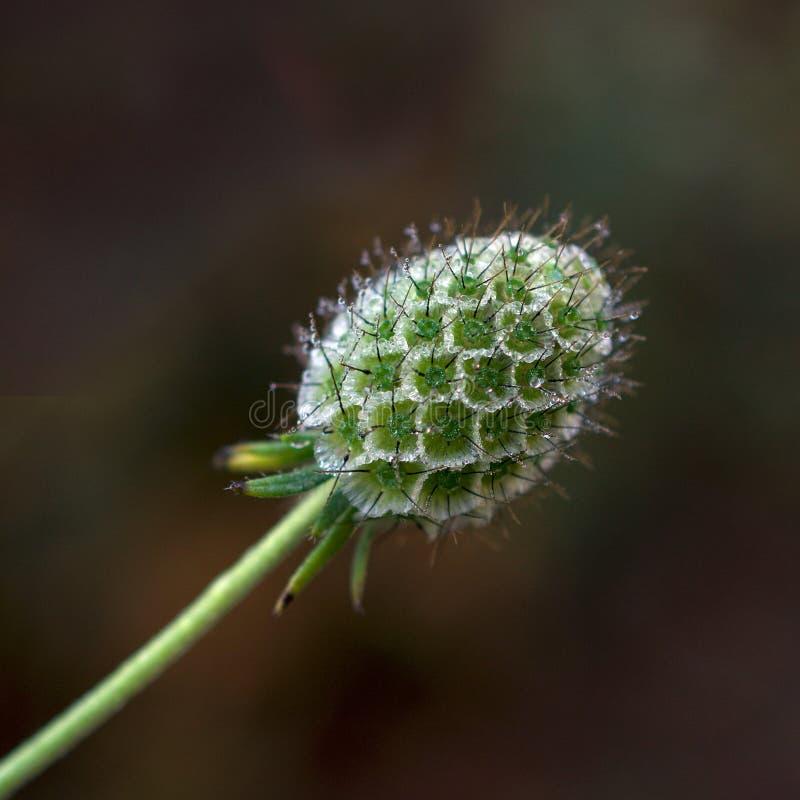 Brote de flor del ochroleuca de Scabiosa del no va más imágenes de archivo libres de regalías