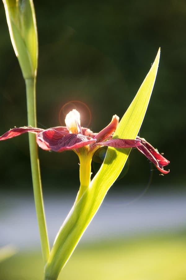 Brote de flor en Highland Park Rochester Nueva York foto de archivo libre de regalías