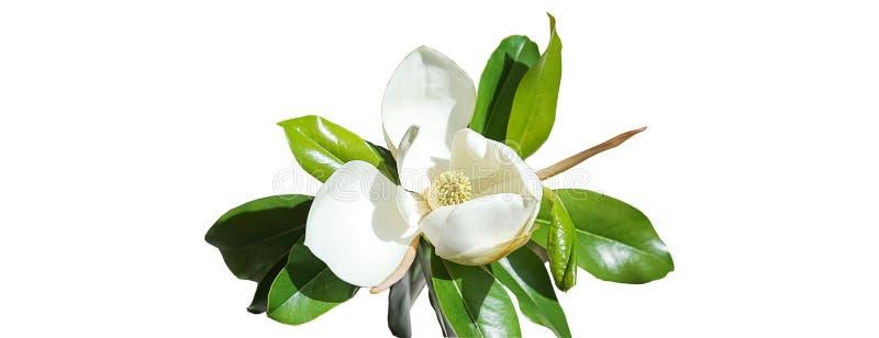 Brote de flor hermoso de la magnolia en el fondo blanco Concepto del verano de la primavera con el flor blanco de la magnolia Foc libre illustration