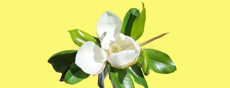 Brote de flor hermoso de la magnolia en fondo amarillo de neón de moda Concepto del verano de la primavera con el flor blanco de  stock de ilustración