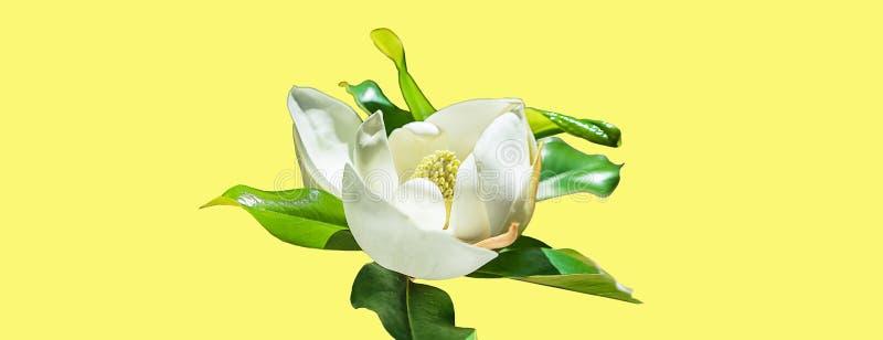 Brote de flor hermoso de la magnolia en fondo amarillo de neón de moda Concepto del verano de la primavera con el flor blanco de  libre illustration