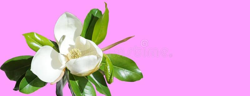 Brote de flor hermoso de la magnolia en fondo rosado de moda Concepto del verano de la primavera con el flor blanco de la magnoli stock de ilustración