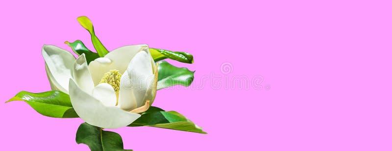 Brote de flor hermoso de la magnolia en fondo rosado de moda Concepto del verano de la primavera con el flor blanco de la magnoli ilustración del vector