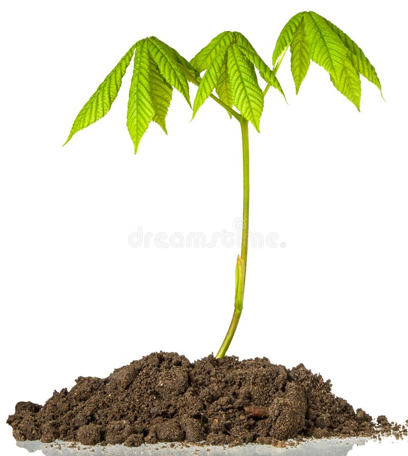 Brote de la castaña aislado Árbol de castaña verde de la primavera con las hojas frescas en el tronco que crece en la tierra aisl foto de archivo libre de regalías