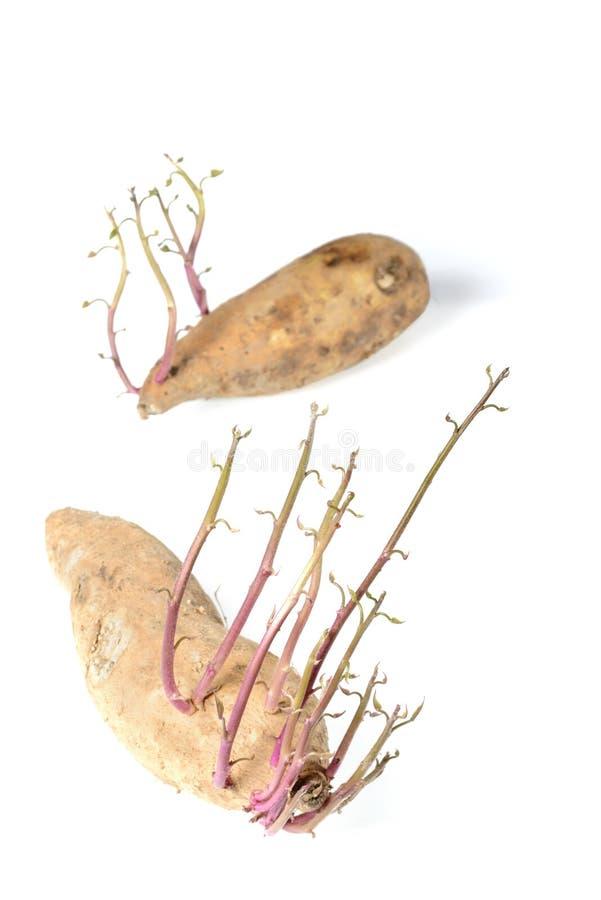 Brote de la patata dulce imagen de archivo libre de regalías